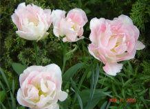 Nikita Botanični vrt je predstavil obiskovalcem 120 sort tulipanov