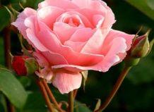 Vonjem vrtnice, lahko izveste v sanjah