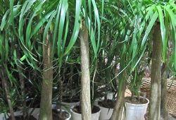 Нолина: экзотический уход за «бутылочным деревцем»