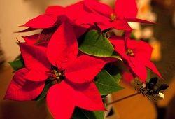 Новогодняя рождественская звезда: сорта и особенности ухода