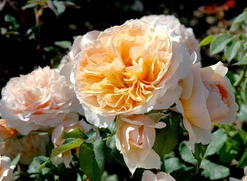 Роза Kizuna