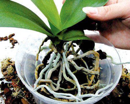 О том, как ухаживать за орхидеями фаленопсис