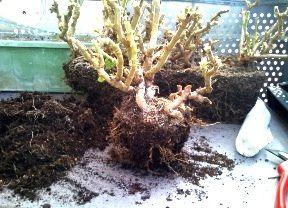 pot Pelargonium
