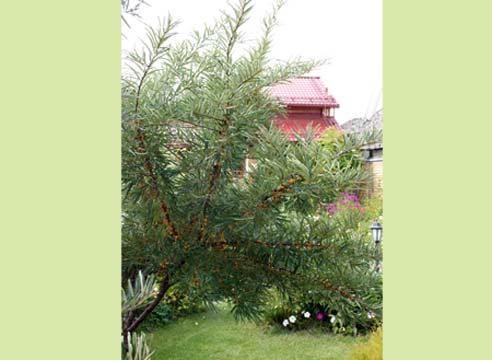 Облепиха, в саду, Hippophae rhamnoides