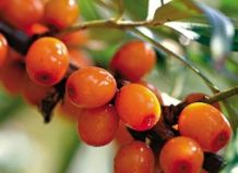 Облепиховый «хлеб счастья» и другие сюрпризы ягоды