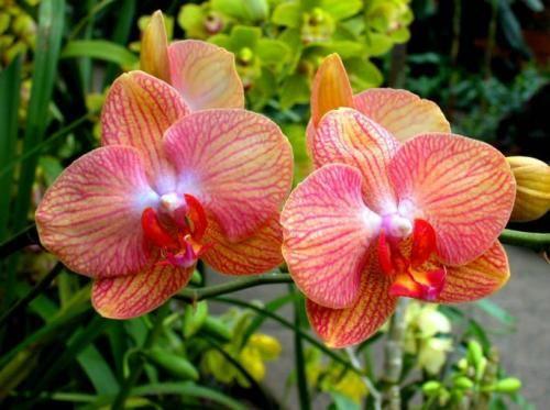 Обольстительный цветок фаленопсис