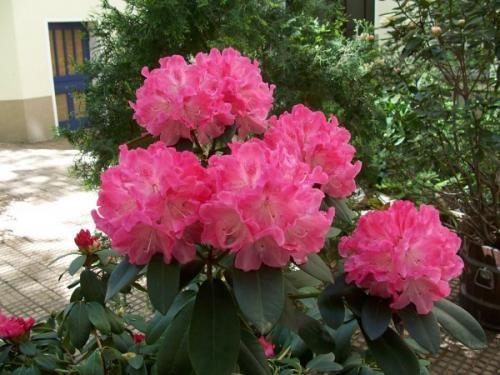 Обрезка азалий необходима для продолжительного цветения