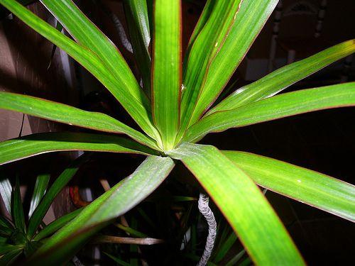 Řez a tvarování pokojových rostlin