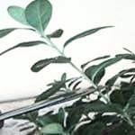 Prořezávání pokojových rostlin