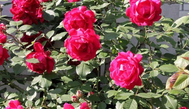 lezení růže