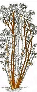 Obr. 20 Řez lezení růže čtvrté skupiny