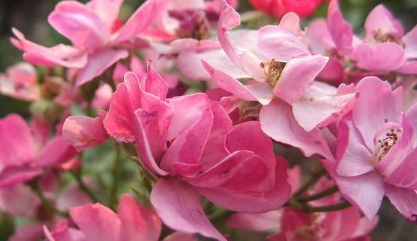 Groundcover rose Včeraj