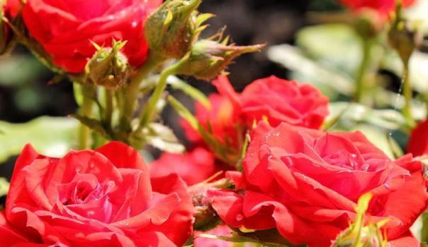 Polyanthus růže