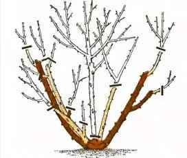 Obr. 3 Crop polyanthas růže