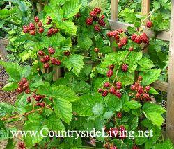 Ezhemalina (hibridni blackberry in maline) na vrtu. Obrezovanje sadnih grmovje