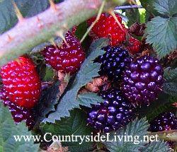Blackberry v vrtu. Obrezovanje sadnih grmovje