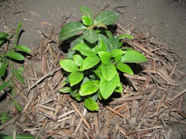 Рододендрон, высаженный в лунку и мульчированный веточками