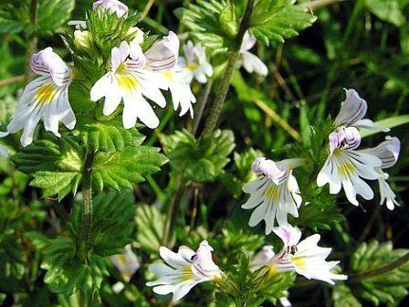 Очанка лекарственная: особенности выращивания в саду