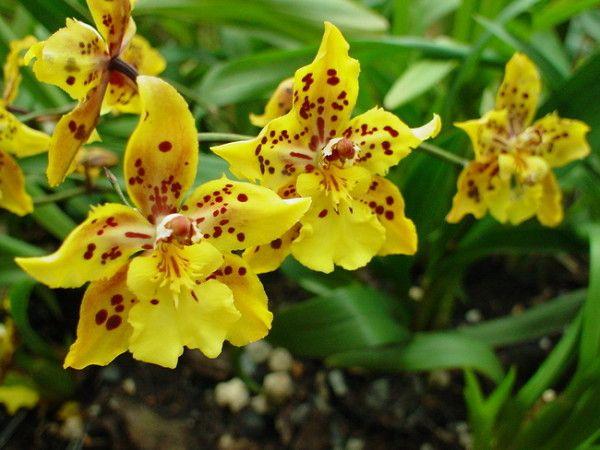 Miltonia Orchid nega