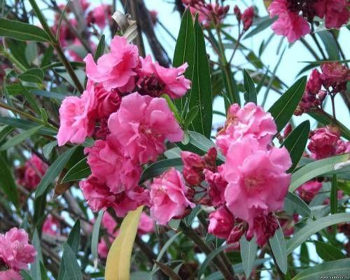 Олеандр на фото побуждает цветоводов высаживать его в своих садах