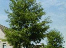 Črna jelša listi z razdelitvijo
