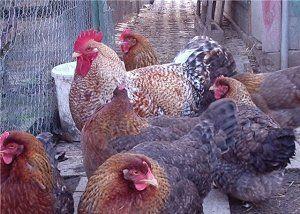 фигурни пилета
