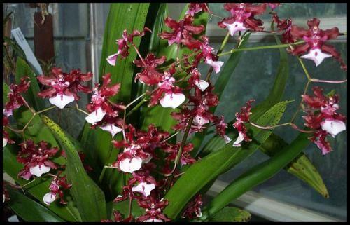 Oncidium - Orchid v vašem domu