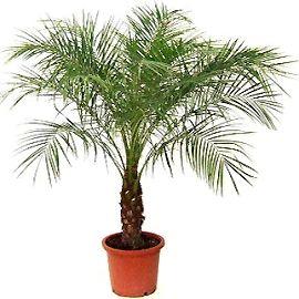 Описание и фото финиковой пальмы