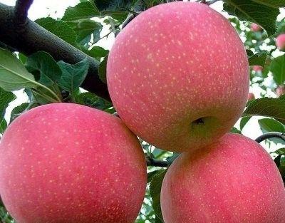 Яблоки с яблони Фуджи
