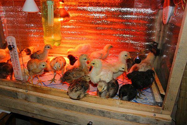 Съдържанието на пилетата в отопляемия Brudere