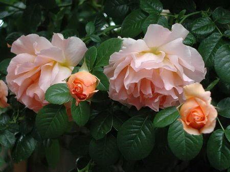Опыт выращивания роз и гладиолусов