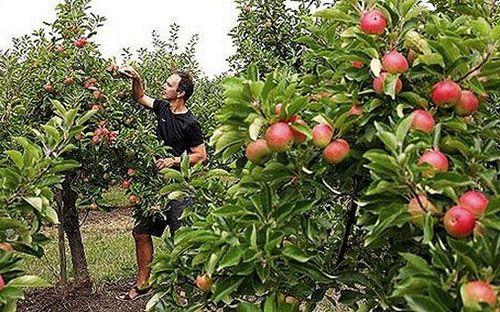 Jablane zrasla iz semena