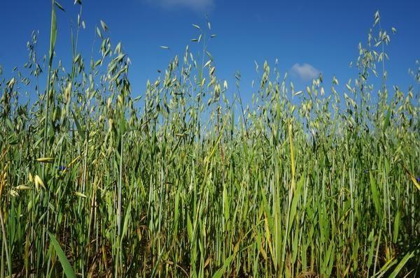 В качестве сидератов часто используют зерновые
