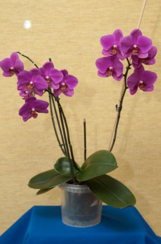 Орхидеи – капризные домашние комнатные растения