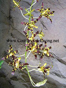Орхидея анселлия гигантская (Ansellia gigantea nilotica)