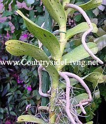 Орхидея ренантера (Renanthera). Воздушные корни растут по всей длине ствола