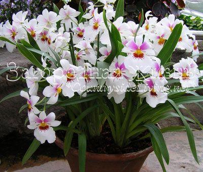 Орхидеи: уход в домашних условиях. Мильтония