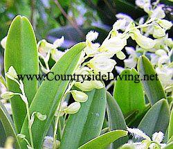 Орхидея плеуроталлис (Pleurothallis amparoana)