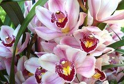 Орхидея цимбидиум: советы по уходу
