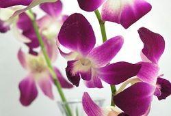 Dendrobium orhideje