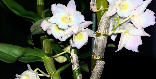 Dendrobium orhideje - Nega na domu