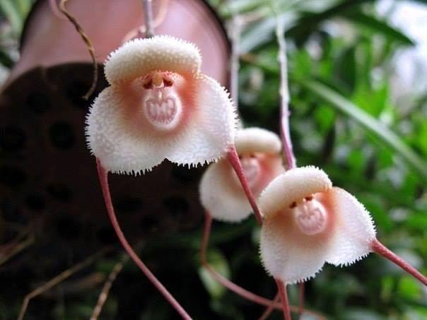 Dracula orhideje