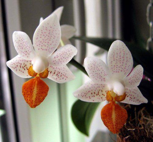 Орхидея фаленопсис мини - на подоконнике