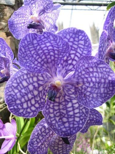 Орхидея голубая носит название - ванда