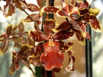 Орхидея камбрия: уход и выращивание