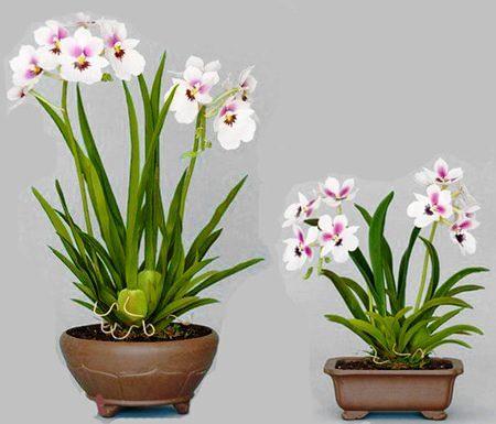Orchid Cumbria 1 fotografije