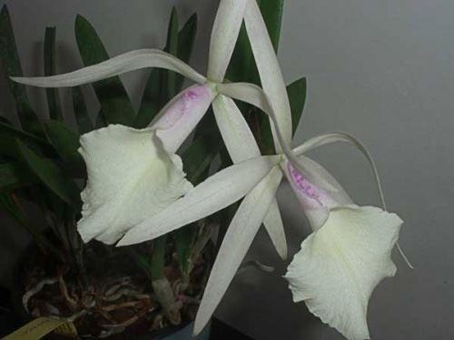 Орхидея каттлея - гибридные и природные виды