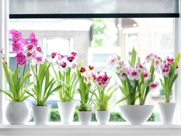 orhideja nega Miltonia doma