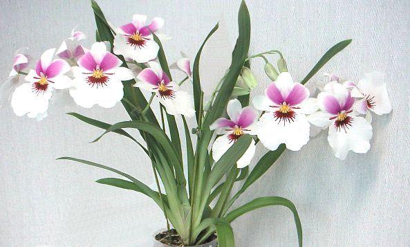 Orchid Miltonia razsvetljava