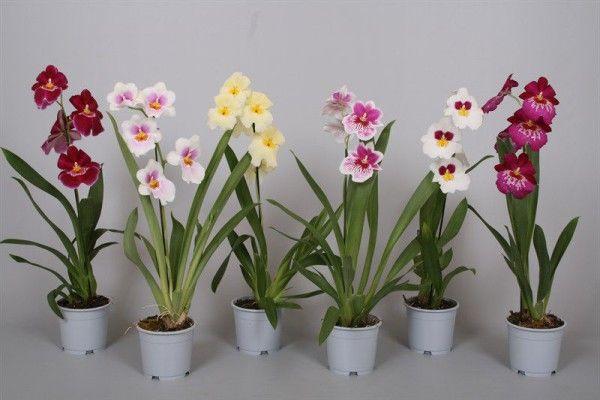 Miltonia Orchid tal